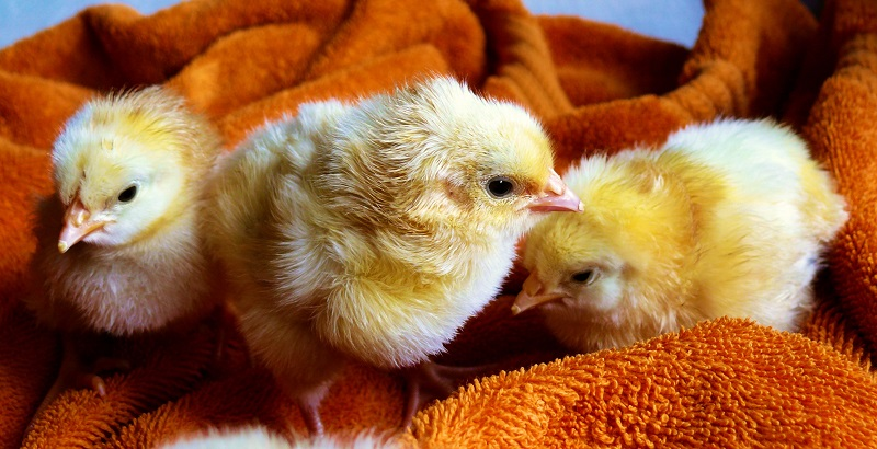 Some adorable little baby chicks.